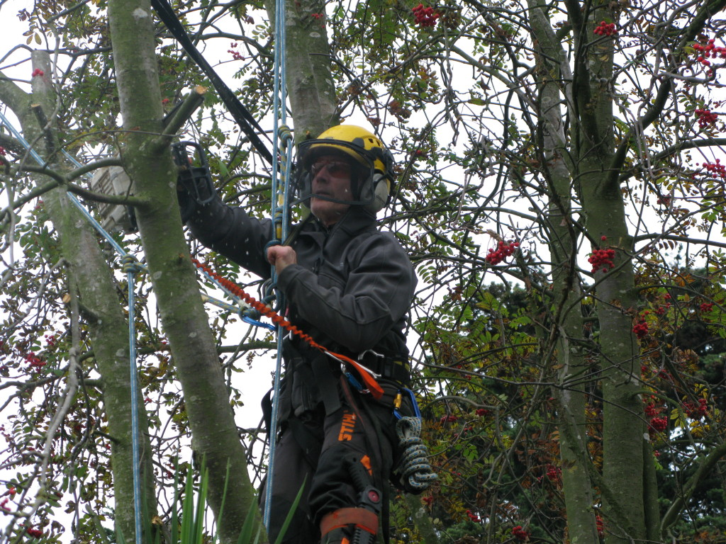 Cutting the stem with the tree saw
