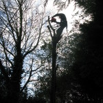 Dismantling the crown of a Cherry Tree