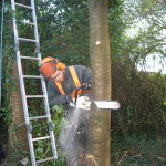 Jamie felling the last part of a Cherry Tree