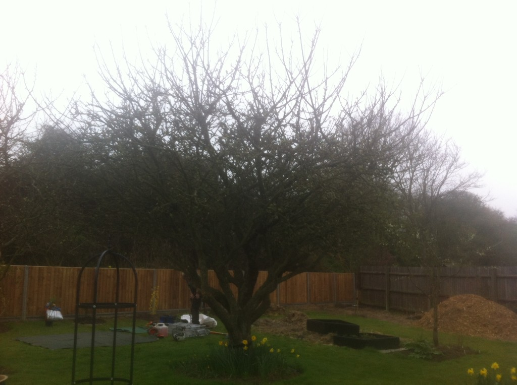 BEFORE - Mature Apple Tree in need of a Crown Reduction & Lift - April 14