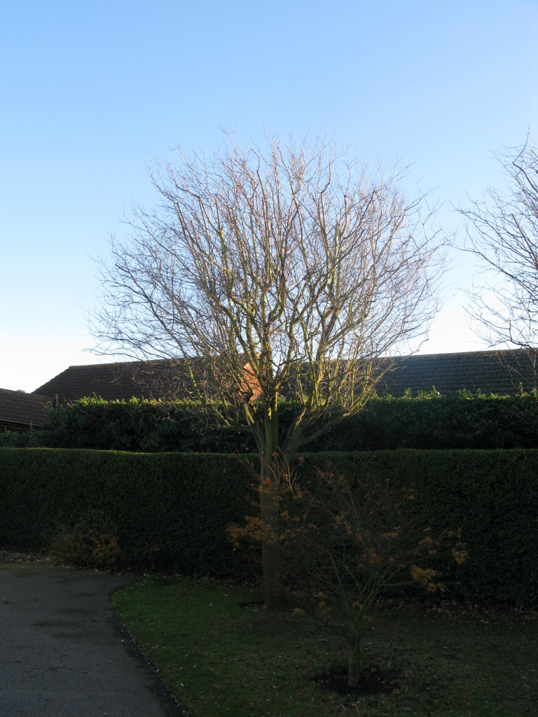 4. AFTER - Left hand Beech Tree reduced by 30% & left  with a great crown shape.