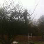 Jamie working on a mature Apple Tree