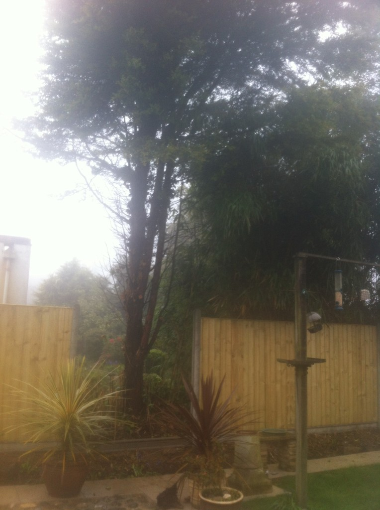 1.BEFORE - Leylandii Tree to be dismantled to enable last fence panel to slot in - Apr '14