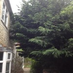 BEFORE - Large Leylandii Tree with branches touching the house & covering walkway - May '14