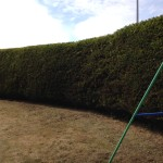 AFTER - Large Leylandii Hedge Now With Good Shape After My Work - June '15