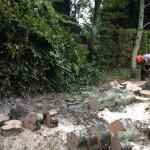 Logging a felled Birch
