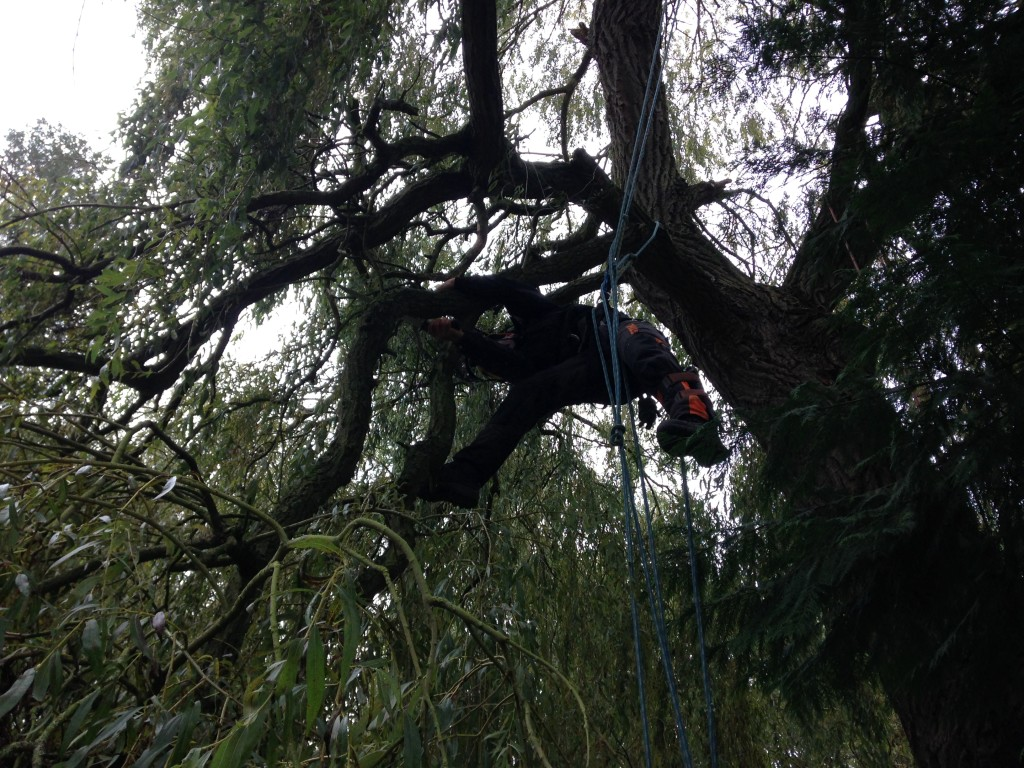 cutting a small limb off a large Willow