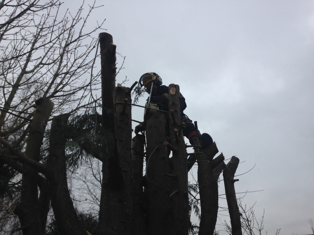 Getting into position on a large Leylandii