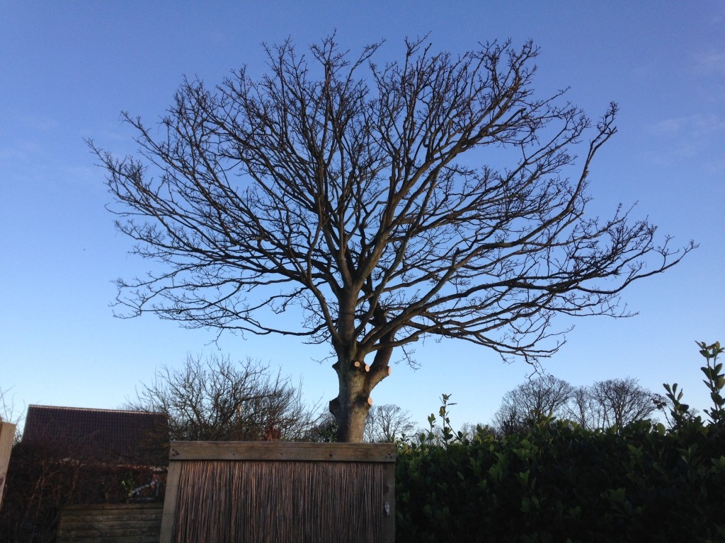 AFTER - Large Sycamore Crown Lifted & Reduced & Left With Great Shape - Feb '16