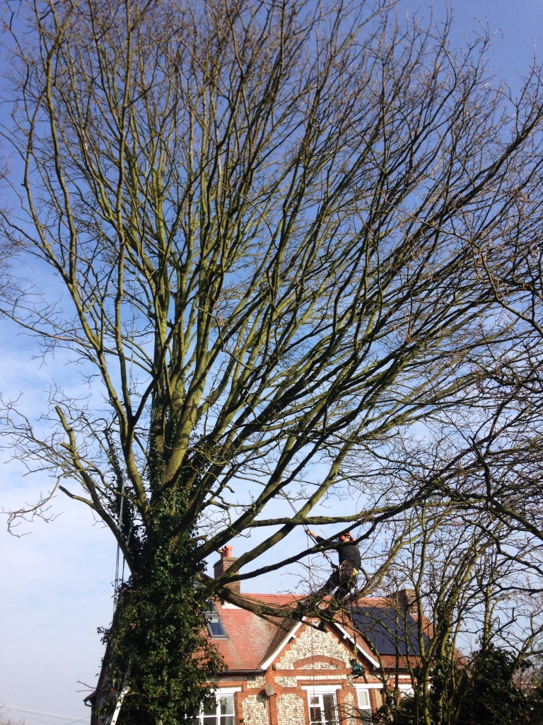1. BEFORE - Very Large Multi-Stemmed Sycamore To Be Dismantled - March '16