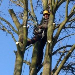 Removing branches from a large Sycamore