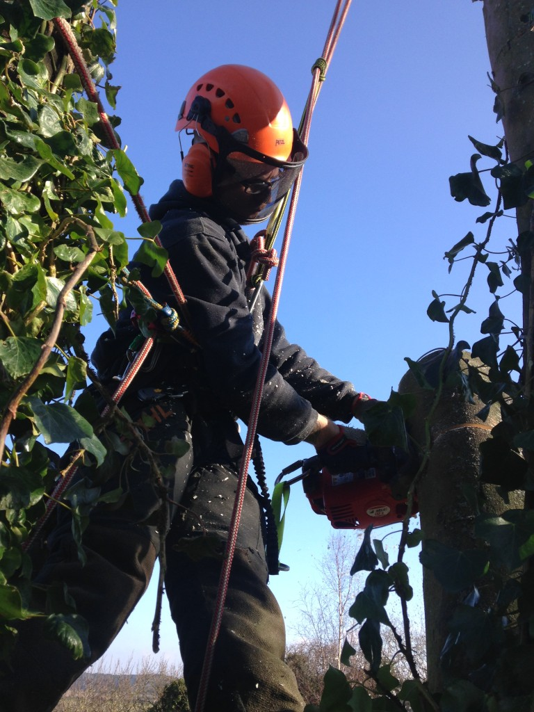 Jamie working on the main stems of a Sycamore