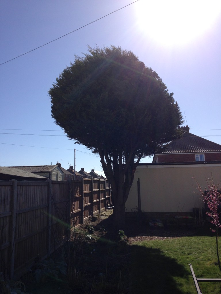 AFTER - Medium Leylandii tree with crown lifted and trimmed - Mar '16