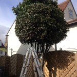 Cutting Bay Tree into a dome
