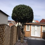 Bay Tree finished in a neat dome shape