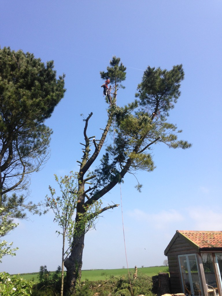 Jamie working in a large Pine Tree