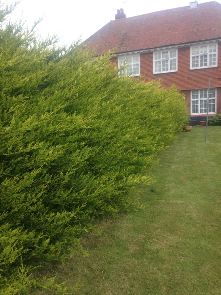 BEFORE - Very Straggly Overgrown Leylandii Hedge Not Been Cut For At Least 2 Years! - Jun'16