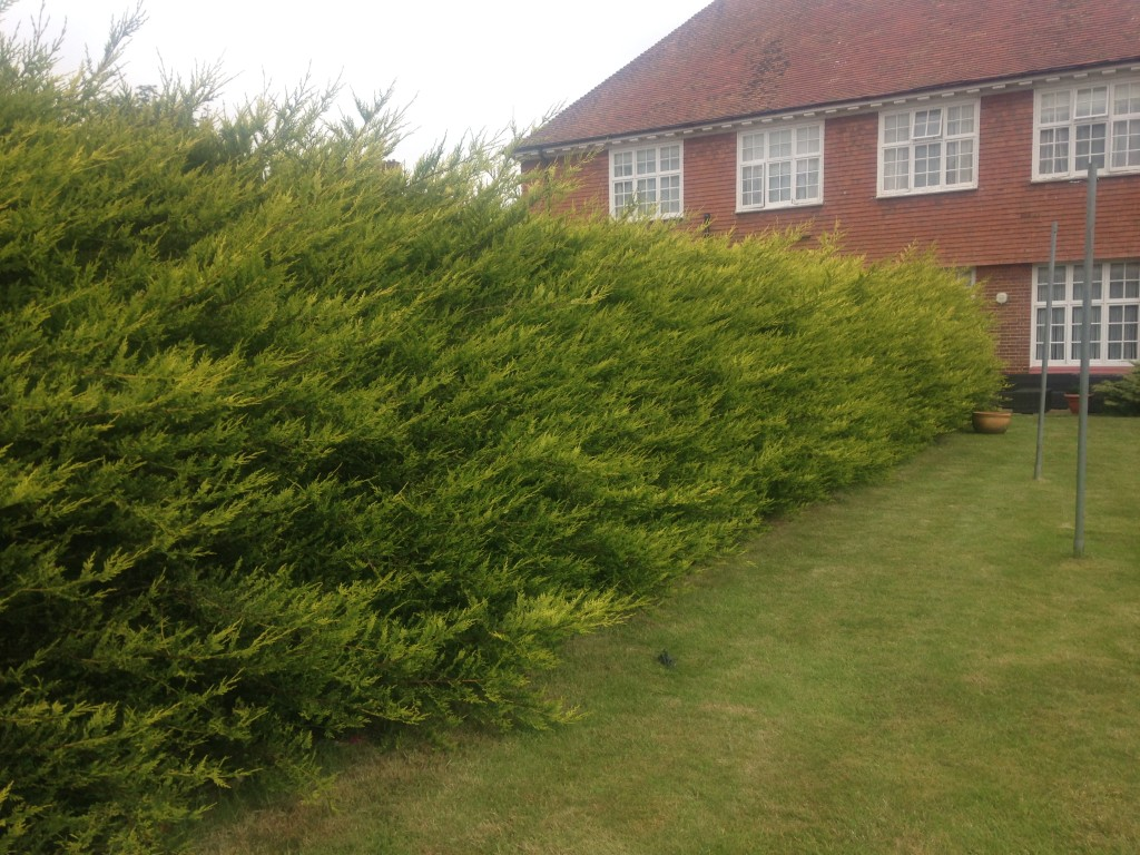 BEFORE - Large Leylandii Hedge Which Hadn't Been Cut For At Least 2 Years - Jun '16