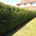 AFTER- Large Leylandii Hedge Looking Neat With Flat Sides & Flat Even Top - Jun '16