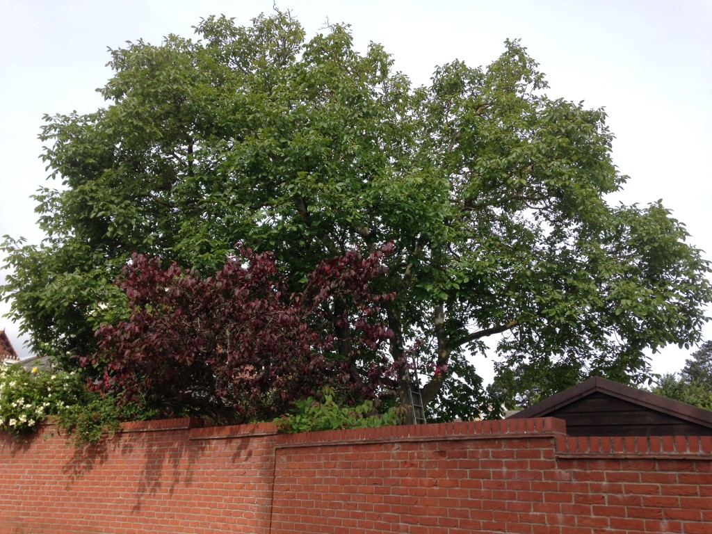 BEFORE - Large Mature Walnut Tree Requiring A 25% Crown Reduction - July '16