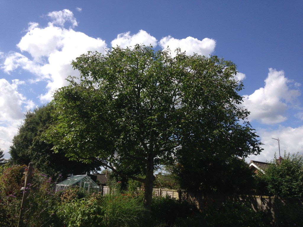 AFTER - Walnut Tree Crown Looking Much Tidier And Shapely - Aug '16