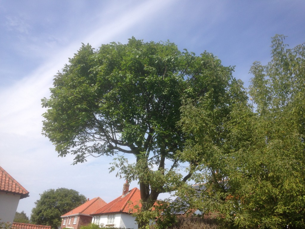 AFTER - Large Walnut Left With A Neat Even Crown + More Light To All Surrounding Houses - Aug '16