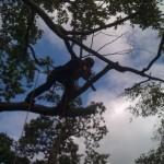 Tree dismantling 3