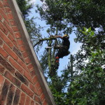 Dismantling a large Holly Tree
