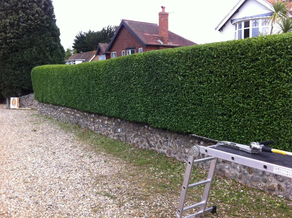 Finished Privet Hedge / June