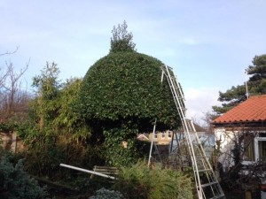 Re-Shaping Large Bay Tree
