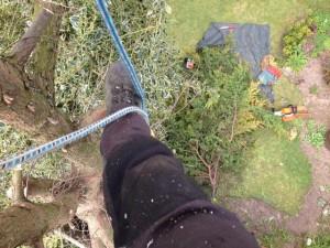 Dismantling A Large Leylandii Tree