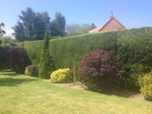 Finished Leylandii Hedge & Border