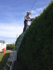 Cutting The Top Of A Very Large Privet Hedge