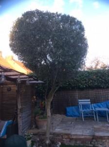 My Olive Tree!