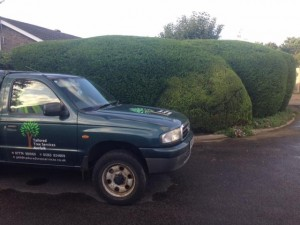 Large Odd Shaped Leylandii Hedge
