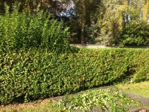 Half Cut Privet Hedge