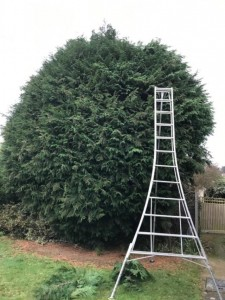 Very Large Leylandii Not Cut For 3 Years!