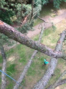 Looking Down From A Very Large Pine Tree