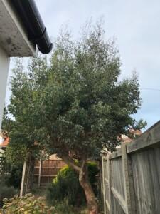 Small Eucalyptus Tree After 2 Seasons Of Gro