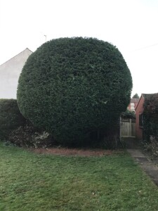 Large Leylandii Ball All Trimmed Up