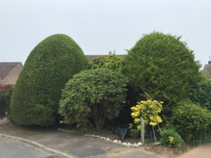 Two Large Leylandii's One Done One Not!