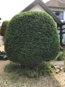 Leylandii Looking Good After Being Trimmed Back Into Shape