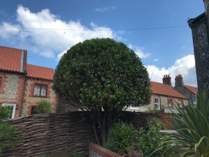 Bay Tree In Great Shape After Prune